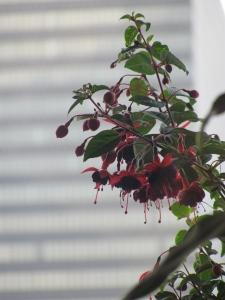 Fushia plant