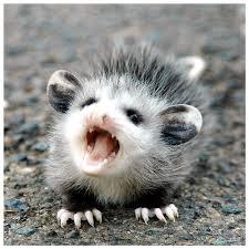 babypossum