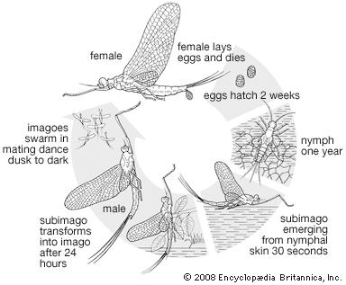 Mayfly Life Cycle